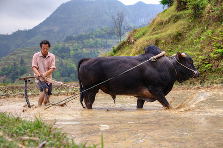 dong: Zhaoxing Dong Village, Guizhou Province, China -  April 9, 2010: Chinese farmer works in a field ox pulling a plow.