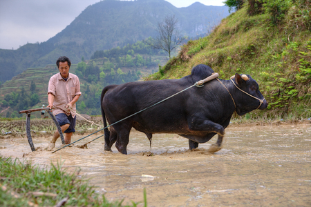 dong: Zhaoxing Dong Village, Guizhou Province, China -  April 9, 2010: Chinese peasant cultivates paddy field, his bull pulling a plow.
