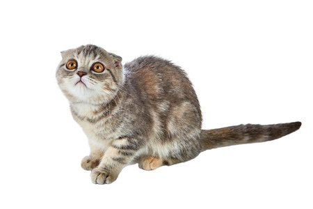 Portrait of cute scottish fold kitten bi-color spotted sitting isolated on white background. Stock Photo
