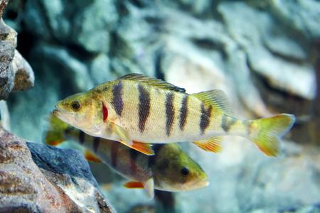 European river perch or Perca fluviatilis, carnivorous freshwater fish behind the glass of the aquarium. Stok Fotoğraf