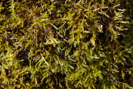 Close-up of bright green moss with long small branches, texture for background.