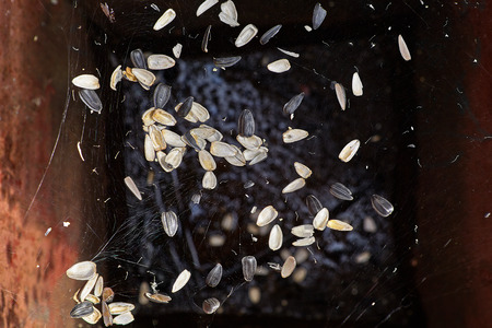 The husk from the sunflower seeds, thrown into the garbage can, hung on the spiders web.