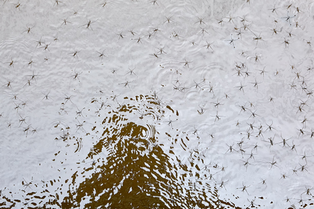 Beetles of water strider glide along surface of water, texture for background.