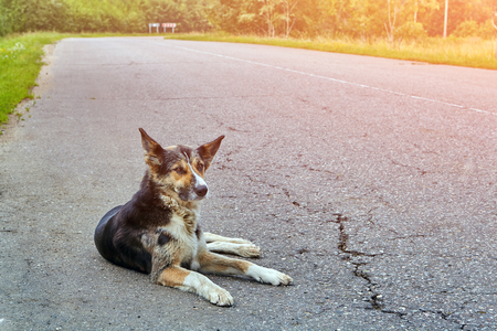 The dog mongrel lies on the roadway of the highway in the early morning in the countryside. Stock Photo