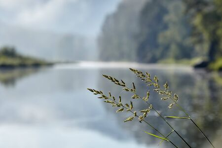 Rough bluegrass or Poa trivialis lawn grasses herb plant on blurred background of natural landscape with forest and river.