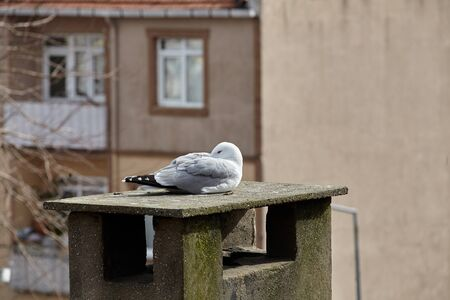 Sea gull in an urban environment. A bird is resting on the roof of an apartment building, it is located on a concrete air duct.