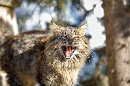 A striped stray cat with fluffy fur, opened its mouth, it meows, or hisses. Homeless animal in the street, Princes' Islands, Turkey, sunny winter day. 版權商用圖片