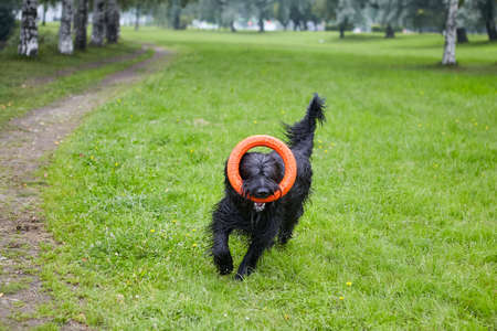 Black briard plays with toy and makes active exercises in park at summer.