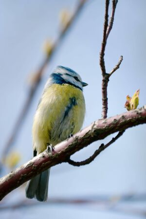 The titmouse sits on the branch with fresh leaves selective focus photo