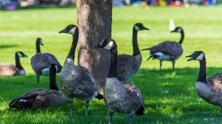 Geese gathered in the shade under a tree