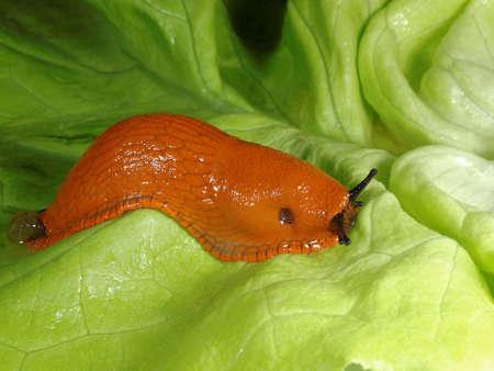slug: Moving slug on a lettuce leaf