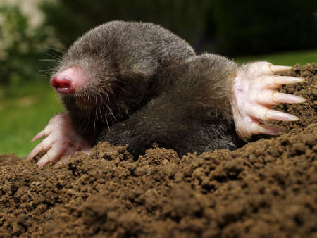 dig: Mole in action in the garden