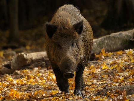 wild boar: boar