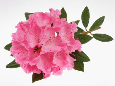 azaleas: rhododendron