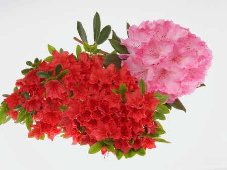 azaleas: rhododendron, azalea, Stock Photo
