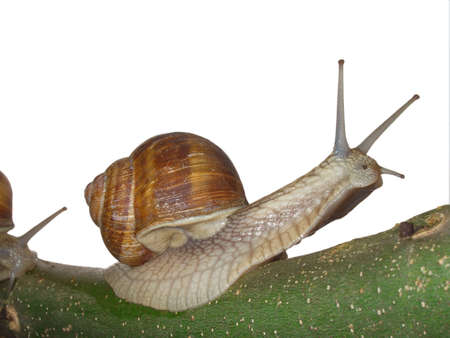 mollusk moving on branch  Stock Photo