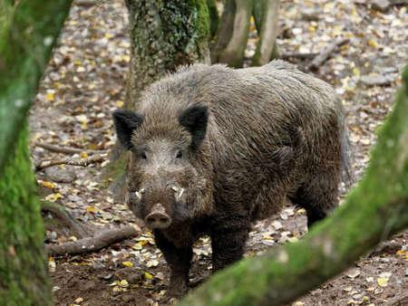 jabali: animales salvajes en el bosque Foto de archivo