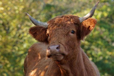 single animal: young cattle Stock Photo