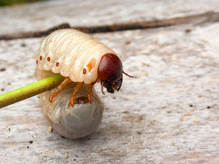 insect larva, thick, white, hairy lies on a wooden background