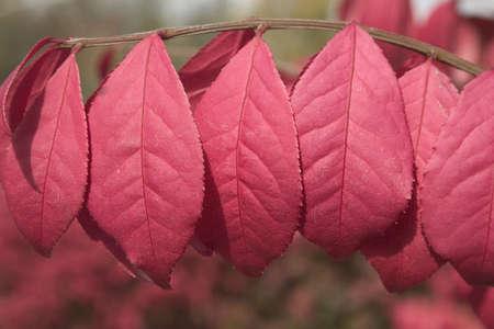 burning bush: Leaves of a burning bush