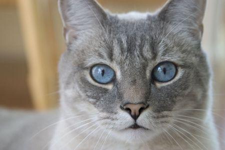 blue eyed: blue eyed cat