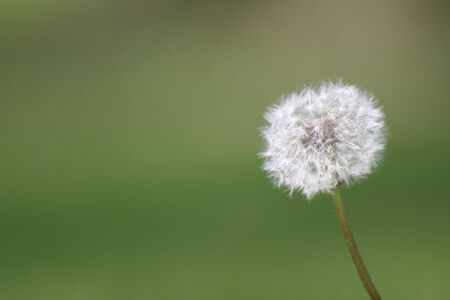 dandelion in focus with background out of focus