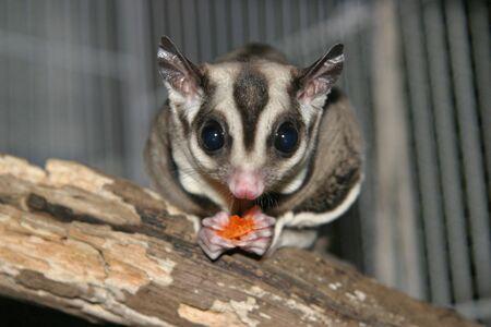 marsupial: Sugarglider