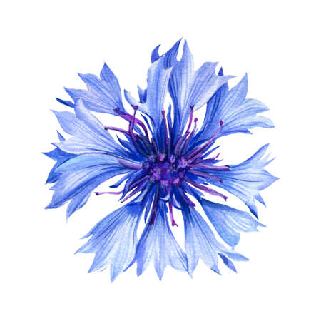 watercolor wildflower, cornflower on an isolated white background, botanical illustration