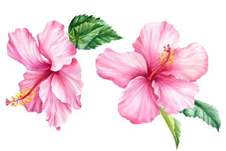 Set Pink flowers, hibiscus on isolated white background, watercolor illustration