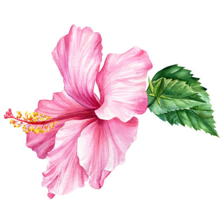 Pink flower, hibiscus on isolated white background, watercolor illustration