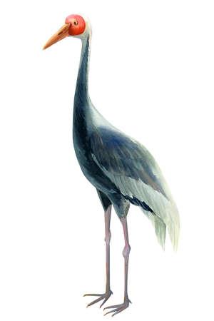 Crane, isolated white background, watercolor illustration