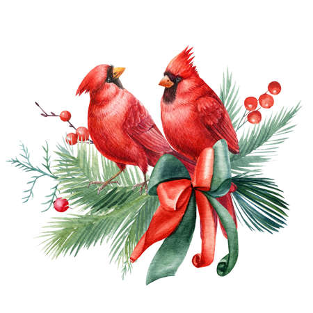 Red birds and holly leaves, spruce branches on a white background watercolor illustration. Christmas composition. 版權商用圖片