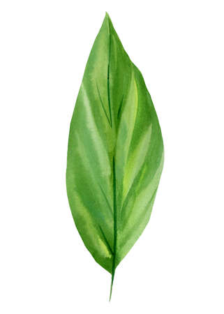 Tropical green leaf, watercolor flora element