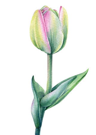 Tulip on isolated white background watercolor botanical painting