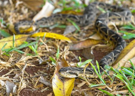 lethal: Small Yarara snake Stock Photo
