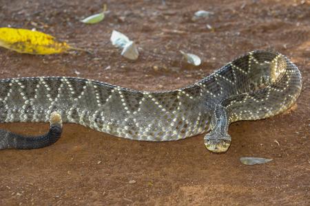 serpiente de cascabel: Serpiente de cascabel o cascabel Foto de archivo