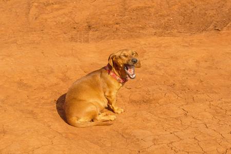 the yawn: Brown dog sitting and yawn Stock Photo