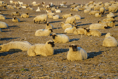 watch groups: Flock of sheep in the morning
