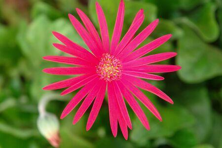 intense: Pink intense flower Stock Photo