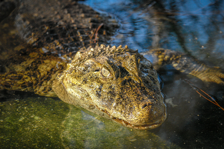 Alligator watching and waiting in south america Stock Photo