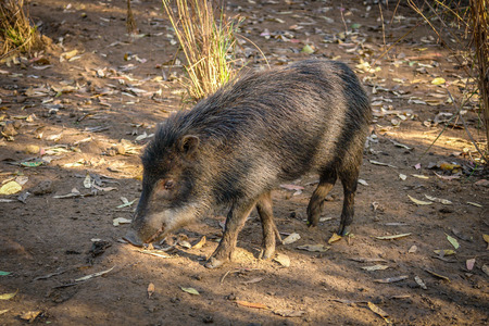 quadruped: Wild pig searching for food in south america
