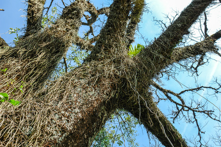 Parasitic plant with hairs living on a tree