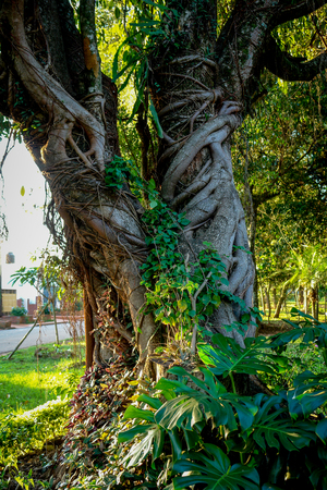 Fig tree strangles another tree