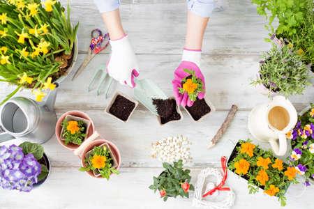 replanting: Woman replanting flowers