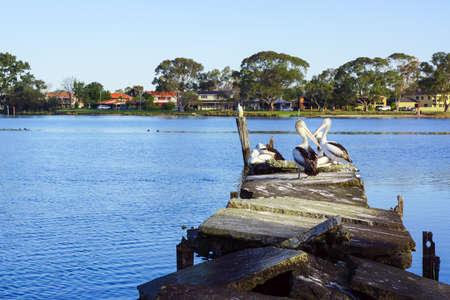 Australian pelican on Canning river broken dock. Stock Photo