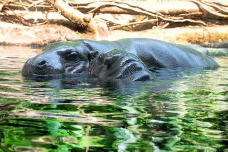 Hippopotamus with its baby swimming in the lake.