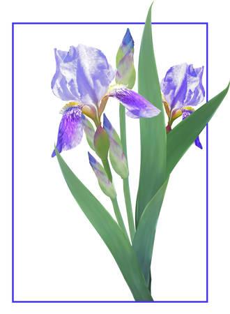 Blue irises on a white background. Vector Image.