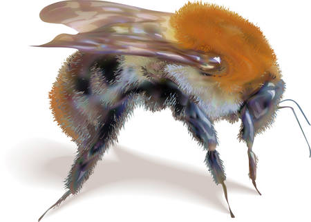 Vector image of a bumblebee on a white background