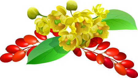 Flowers, leaves and berries of barberry