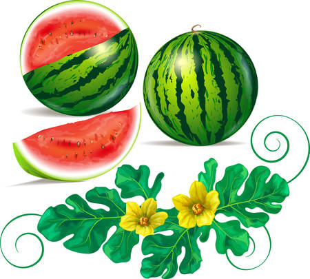Watermelon, leaves and watermelon flowers vector illustration. Vettoriali